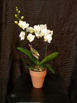Orchid, White by Davis Floral Comany, your Brownwood, Texas (TX) Florist
