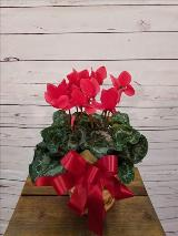 "Cyclamen, Red 6"" by Davis Floral Comany, your Brownwood, Texas (TX) Florist"