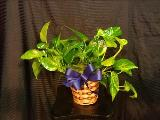 "Ivy, Golden Pothos 6"" by Davis Floral Comany, your Brownwood, Texas (TX) Florist"