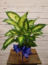 "Dieffenbachia 6"" by Davis Floral Comany, your Brownwood, Texas (TX) Florist"