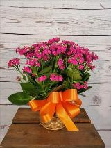 Kalanchoe, Pink by Davis Floral Comany, your Brownwood, Texas (TX) Florist