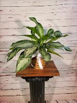 "Aglaonema 6"" by Davis Floral Comany, your Brownwood, Texas (TX) Florist"