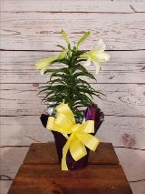 Lily, Easter lily, spring, bloom plant, plants, outdoor plants by Davis Floral Comany, your Brownwood, Texas (TX) Florist