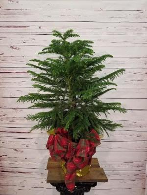 "Norfork Pine 8"" by Davis Floral Comany, your Brownwood, Texas (TX) Florist"