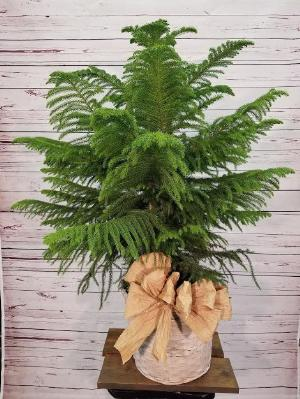 "Norfork Pine 12"" by Davis Floral Comany, your Brownwood, Texas (TX) Florist"