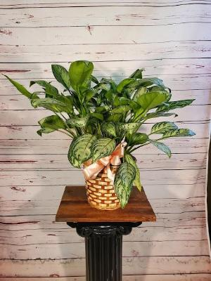 "Aglaonema 8"" by Davis Floral Comany, your Brownwood, Texas (TX) Florist"