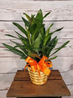 "Janet Craig, 6"" by Davis Floral Comany, your Brownwood, Texas (TX) Florist"