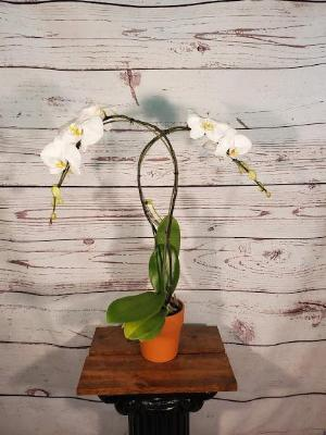 Orchid, Phalaenopsis 2 by Davis Floral Comany, your Brownwood, Texas (TX) Florist