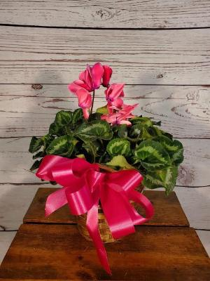 blooming plant, cyclamen, pink, flower, house plant by Davis Floral Comany, your Brownwood, Texas (TX) Florist