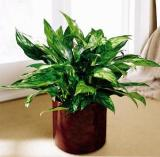 Chinese Evergreen by Davis Floral Comany, your Brownwood, Texas (TX) Florist