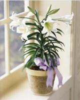 Easter Lily Plant by Davis Floral Comany, your Brownwood, Texas (TX) Florist