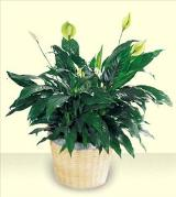The FTD® Peace Lily Basket by Davis Floral Comany, your Brownwood, Texas (TX) Florist