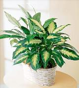 The FTD® Spathiphyllum and Dieffenbachia by Davis Floral Comany, your Brownwood, Texas (TX) Florist