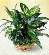 FTD® Mixed Green Plants in a Basket by Davis Floral Comany, your Brownwood, Texas (TX) Florist