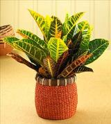 Vibrant Croton Plant with Basket by Davis Floral Comany, your Brownwood, Texas (TX) Florist