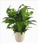 """Peace Lily"" Spathiphyllum Plant by Davis Floral Comany, your Brownwood, Texas (TX) Florist"