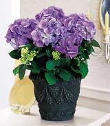Blue Hydrangea by Davis Floral Comany, your Brownwood, Texas (TX) Florist