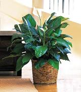 "8"" Spathiphyllum by Davis Floral Comany, your Brownwood, Texas (TX) Florist"