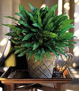 Aglaonema by Davis Floral Comany, your Brownwood, Texas (TX) Florist