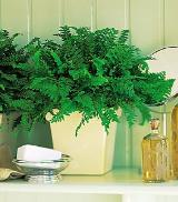 Decorative Fern by Davis Floral Comany, your Brownwood, Texas (TX) Florist