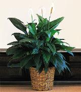 "12"" Spathiphyllum by Davis Floral Comany, your Brownwood, Texas (TX) Florist"