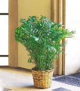 Areca Palm by Davis Floral Comany, your Brownwood, Texas (TX) Florist