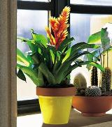 "6"" Bromeliad by Davis Floral Comany, your Brownwood, Texas (TX) Florist"