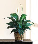 "6"" Spathiphyllum by Davis Floral Comany, your Brownwood, Texas (TX) Florist"